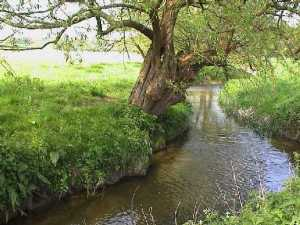 Willow lined stream